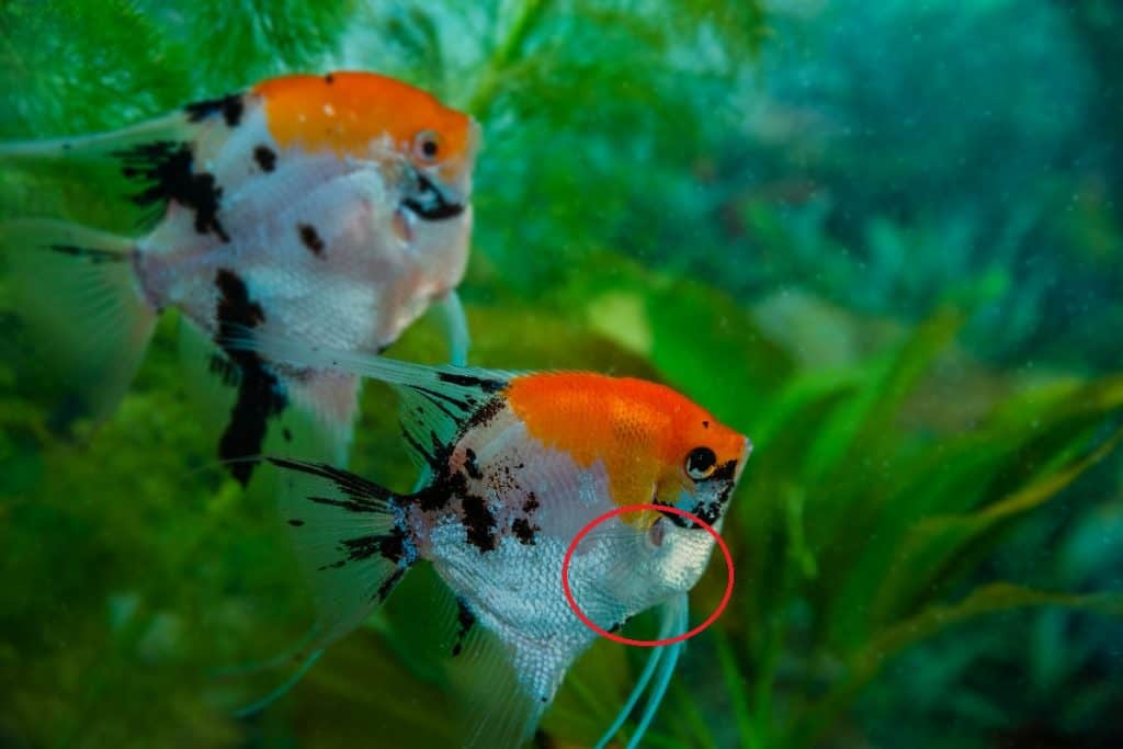 How To Tell If Your Angelfish Is Pregnant Within 5 Minutes Pet Fish Online