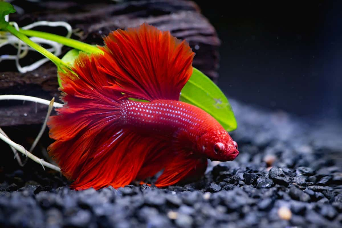 Betta my why fish keep dying do Why Does